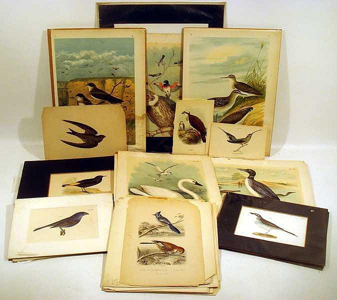 Original Hand-Tinted ANTIQUE ORNITHOLOGICAL PLATES Chromolithographs Owl Hawk Birds OF Prey Water Fowl Penguins Hummingbirds Parrots Tropical