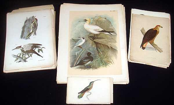 Chromolithographs ANTIQUE ORNITHOLOGICAL LITHOGRAPHS Original Hand Tinted Water Fowl Humming Birds Sea Eagle Hawk Red Dorkings Weaver Shoveller