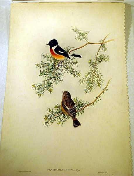 Lot 3082: John Gould / H C Richter ORIGINAL HAND-COLORED ORNITHOLOGICAL LITHOGRAPH c1865 Antique Natural History Indian Furze-Chat