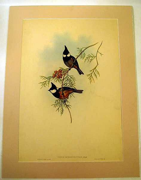 John Gould / H C Richter ORIGINAL HAND-COLORED ORNITHOLOGICAL LITHOGRAPH c1865 Antique Natural History Asian Songbirds