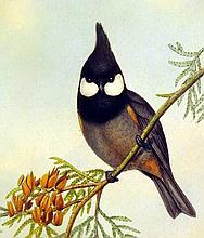 Lot 3008: John Gould / H C Richter ORIGINAL HAND-COLORED ORNITHOLOGICAL LITHOGRAPH c1865 Antique Natural History Asian Songbirds
