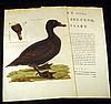 Anas Nigra ANTIQUE HAND-COLORED ORNITHOLOGICAL ENGRAVING WITH TEXT c1770 Nederlandsche Vogelen Cornelius Nozeman Dutch Birds Laid Paper, Cornelius Nozeman, Click for value