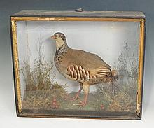 Taxidermy - a red legged partridge, in naturalistic setting, case 39cm wide