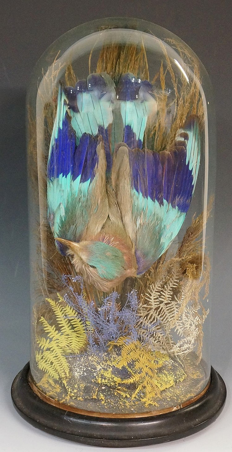 Taxidermy - a late 19th Century exotic bird with turquoise and blue feather