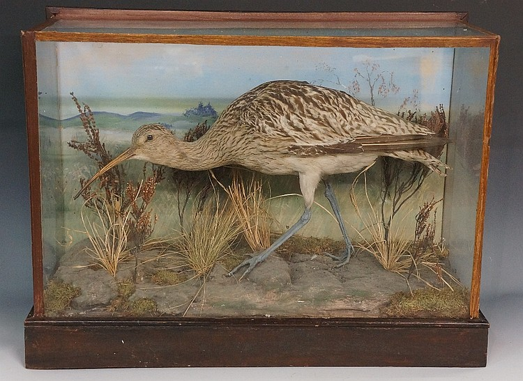 Taxidermy - a curlew in naturalistic setting, glazed case, 40cm high, 53cm