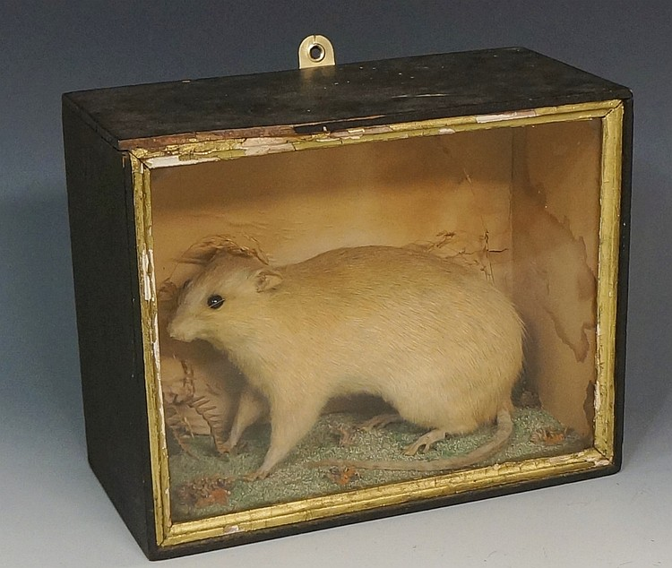 Taxidermy - an albino rat in naturalistic setting, glazed case, 20cm high,