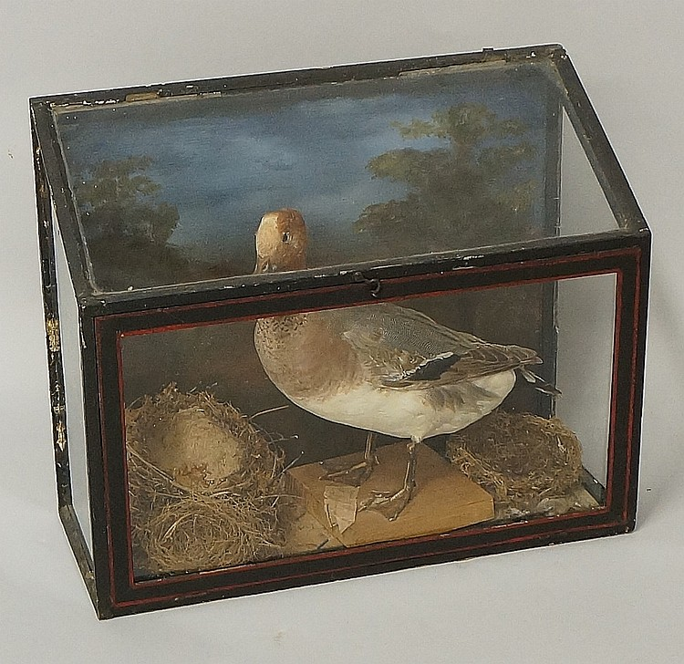 Taxidermy - a 19th Century French tableau of a duck and nests with painted