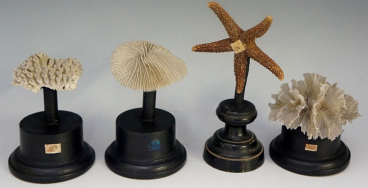 Three pieces of coral each mounted on an ebonised pedestal; a starfish moun