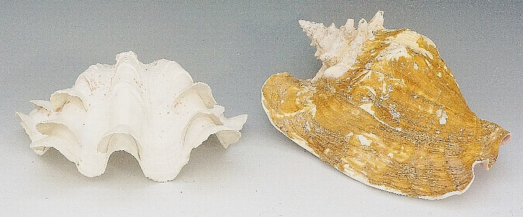 A small clam shell, 24cm wide; another shell (2)