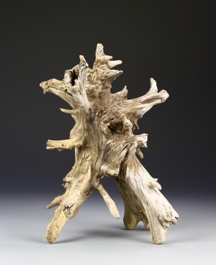 Scholar Tree Root