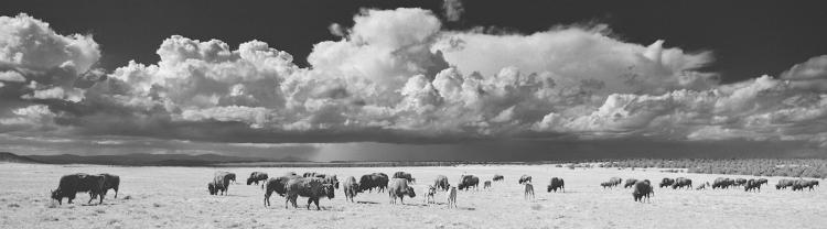 Buffalo, Golondrinas - Large-Scale, Limited Edition Photography