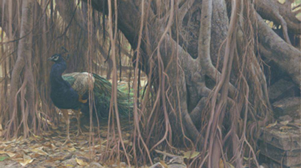 "Robert Bateman's ""Banyan Walk - Peacock"" Limited Edition Canvas Signed And Numbered"