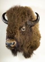 TAXIDERMY MOUNT, European bison, aka wisent or the