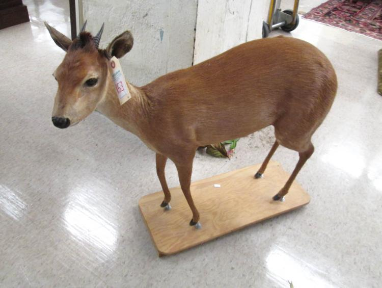 FIVE AFRICAN DWARF ANTELOPE TAXIDERMY MOUNTS, all