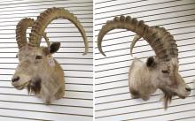 TWO TAXIDERMY MOUNTS, Asiatic Ibex, head/shoulder