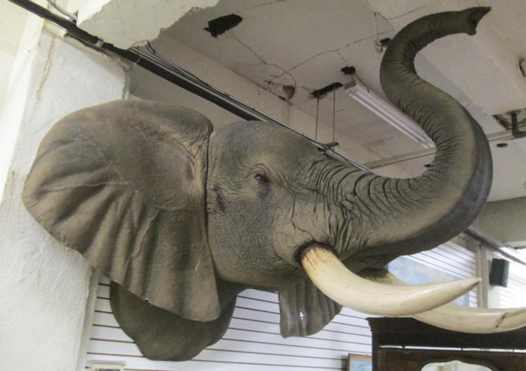 AFRICAN BULL ELEPHANT, a life-size replica game tr