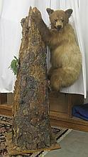 BROWN BEAR CUB TAXIDERMY MOUNT, the full mount