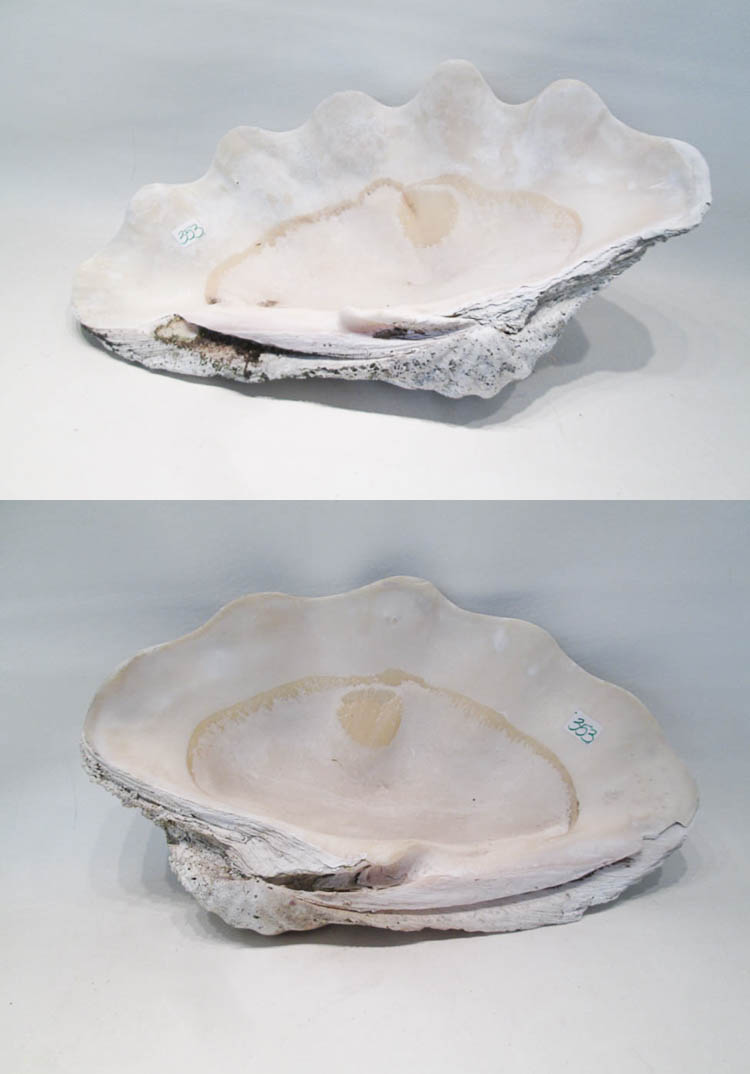 SOUTH PACIFIC TRIDACNA GIGAS CLAM SHELL, top and b