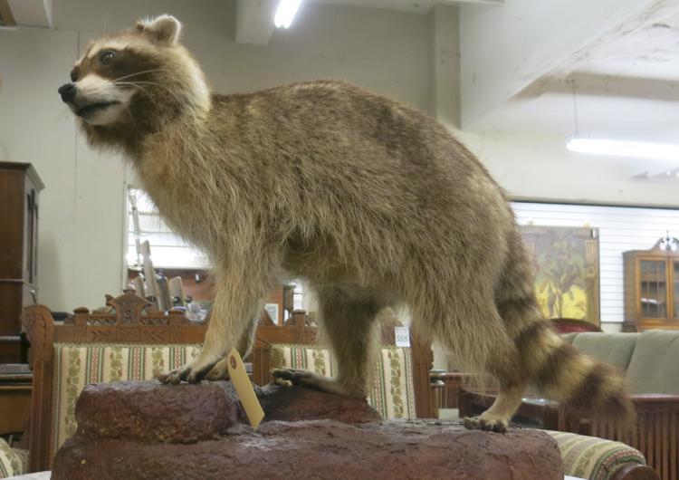 WILDLIFE TAXIDERMY MOUNT, full mount raccoon in wa