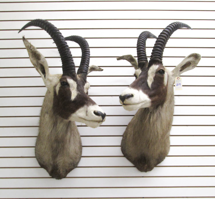TWO AFRICAN ROAN ANTELOPE TAXIDERMY MOUNTS, the la