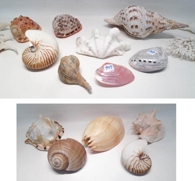 FIVE LARGE SEASHELLS including the Queen Conch, th
