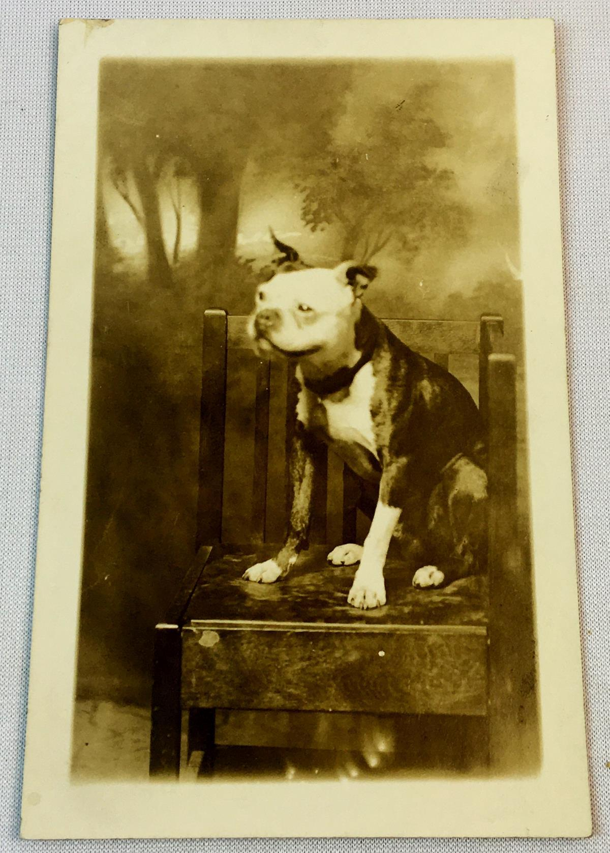 Antique c. 1910 Pitbull Sitting on a Mission Corner Chair Real Photo Postcard