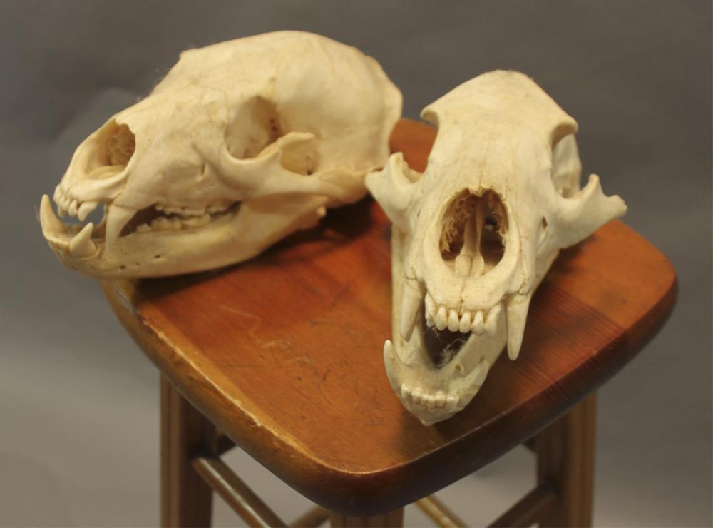 2 North American Black Bear Skulls