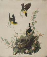Yellow Breasted Chat - J.J. Audubon No.28