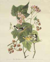 Black & Yellow Warbler by J.J. Audubon No.25