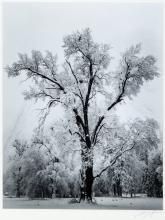 Oak Tree, Snowstorm - Original gelatin silver print