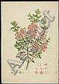 Miller, J[ohn]. Three hand-colored botanical, Joh. Sebastian Müller, Click for value