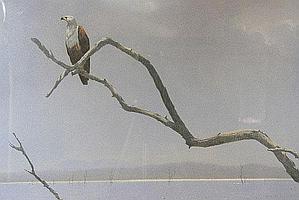 "DONALSON, KIM (1956-) "" Fish eagle - Kariba"