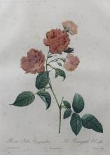 PIERRE JOSEPH REDOUTE (FRENCH, 1759-1840) ROSA INDICA CARYOPHYLLEA - LA BENGALE OEILLET Hand-colored stipple engraving: 21 x 14 in....