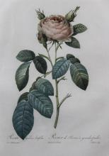 PIERRE JOSEPH REDOUTE (FRENCH, 1759-1840) ROSA GALLIEA LATIFOLIA Hand-colored stipple engraving: 21 x 14 in. (sheet)