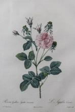 PIERRE JOSEPH REDOUTE (FRENCH, 1759-1840) ROSA GALLICIA AGATHA INCARNATA Hand-colored stipple engraving: 21 x 14 in. (sheet)