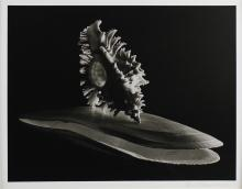 RUTH BERNHARD (AMERICAN, 1905-2006) TWO SHELLS, BRANCHED MUREX AND DEEP SEA SCALLOPS, 1943 Gelatin silver print: 11 1/2 x 14 1/2 in....
