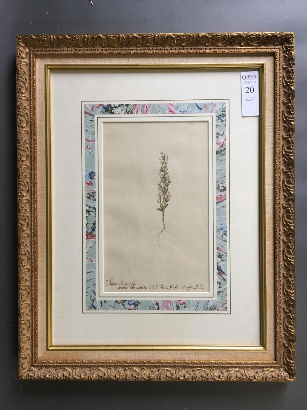Watercolor of Sedum Spurium. Framed.