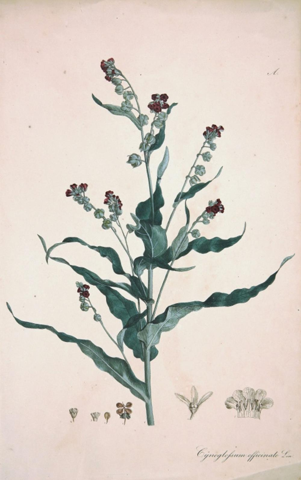 William Curtis. Flora Londinensis. 2 Plates. 1777