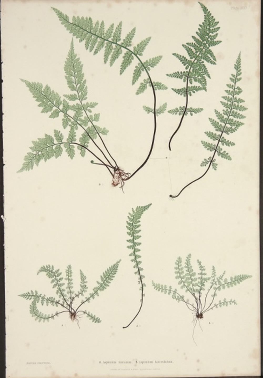 Henry Bradbury. Ferns. 1855.