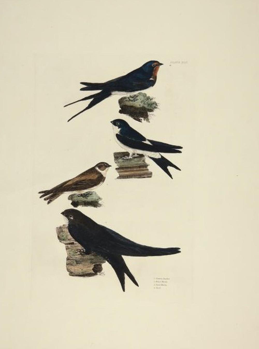 Prideaux John Selby. 2 plates, British Ornithology