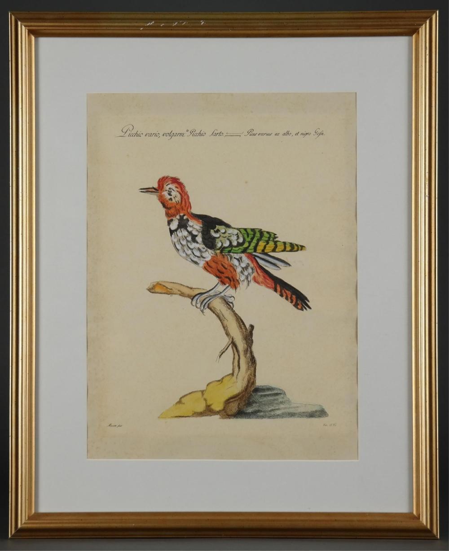 Saverio Manetti. Woodpecker. c.1765.