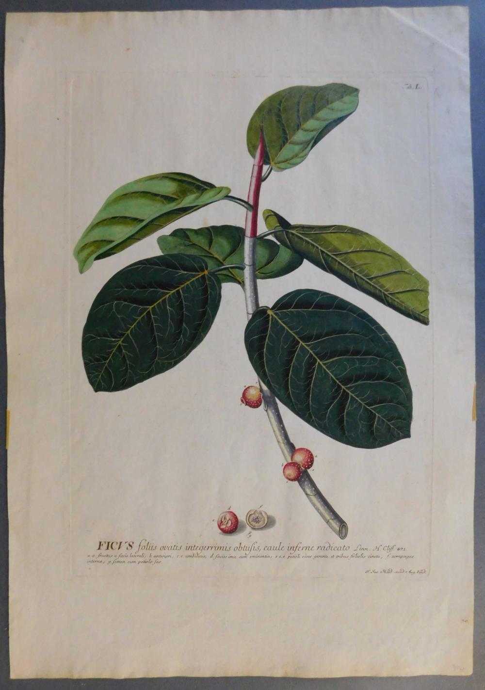 Ficus foliis ovatis integerrimis... [1750-1773].
