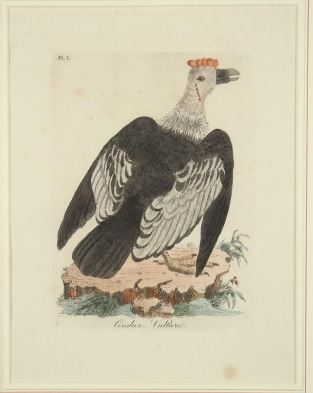 Latham. 4 plates General History of Birds 1820s