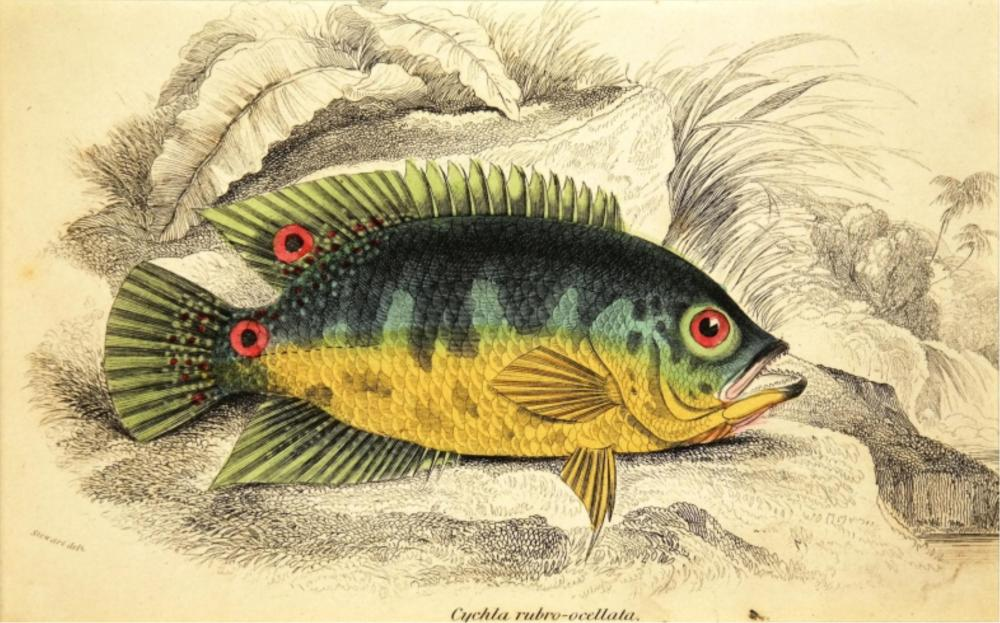 William Home Lizars. 7 Ichthyology Plates. 1830-40