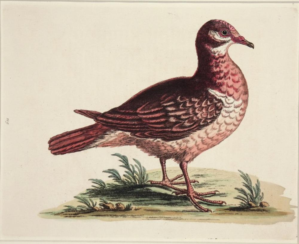 Geo. Edwards. 4 plates, Uncommon Birds. 18th C.