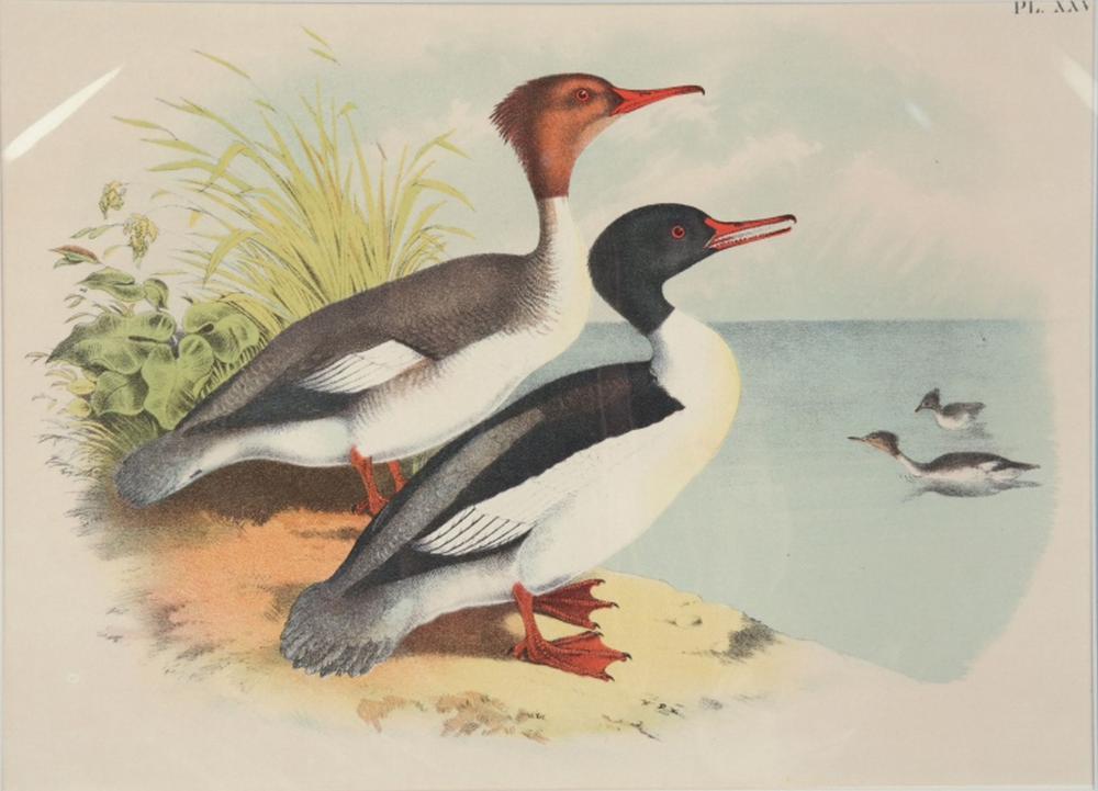 Baird, Studer 20 liths, inc Birds of North America