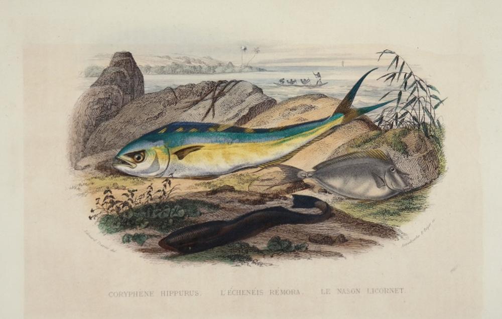 Histoire Naturelle, 15 fish studies, c. 1839