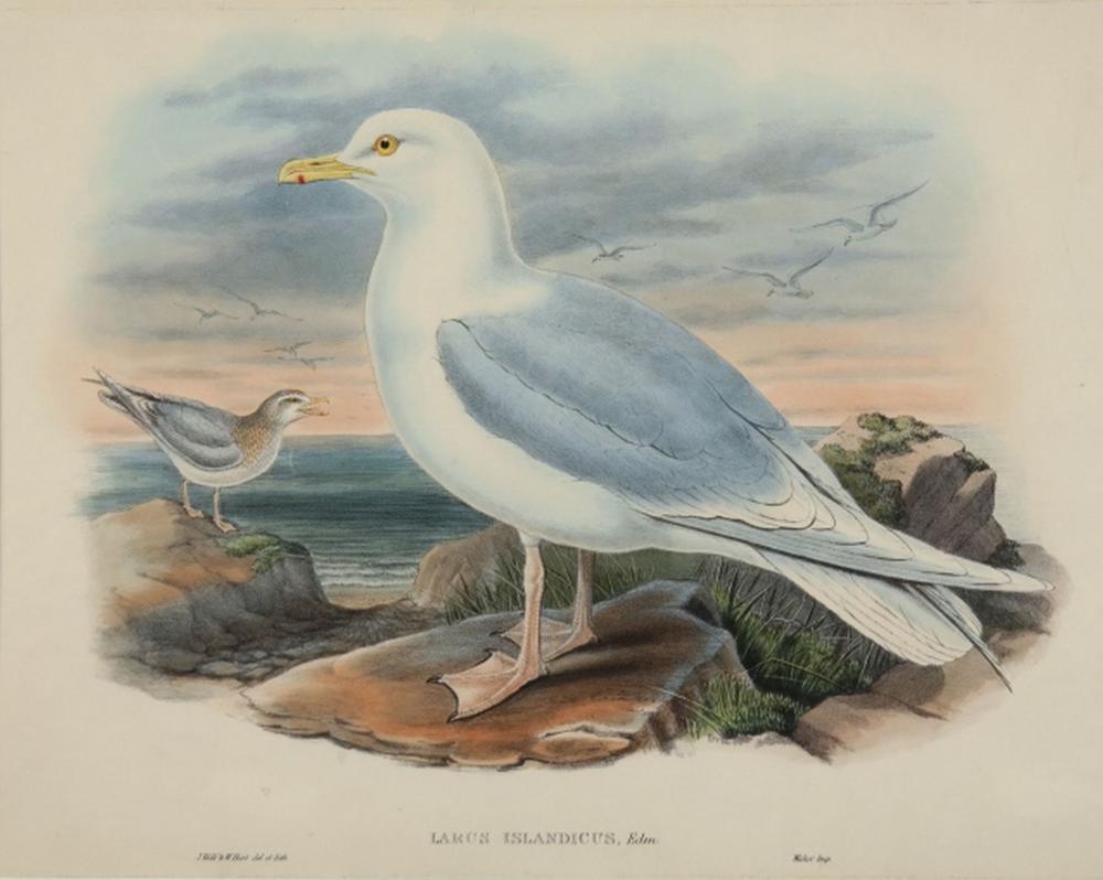 Gould, Wolf, Hart. Larus Islandicus. Great Britain