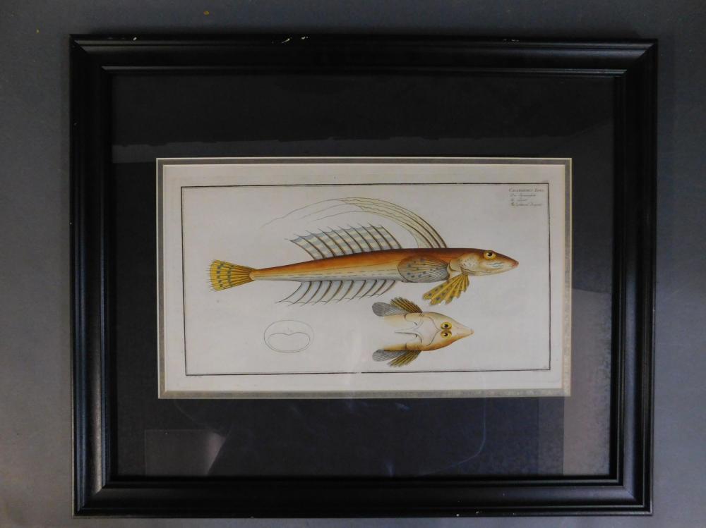 Callionymus Lyra. Fish engraving. 1785-97. Framed.