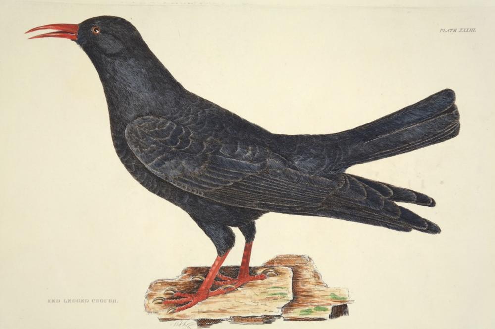 Prideaux John Selby. 4 plates, British Ornithology